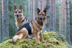 Dos pastores de Alemania Imagen de archivo