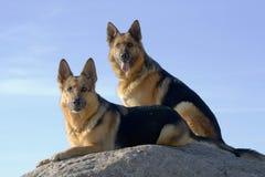 Dos pastores de Alemania Fotos de archivo