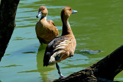 Dos patos Imagen de archivo libre de regalías
