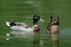 Dos patos Imágenes de archivo libres de regalías