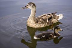 Dos patos Foto de archivo libre de regalías