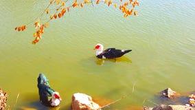 Dos patos afortunados Fotografía de archivo