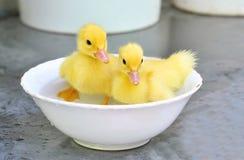Dos patos amarillos del bebé en un tazón de fuente Imagen de archivo libre de regalías