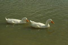 Dos patos blancos que nadan en una charca de la granja Fotos de archivo