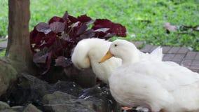 Dos patos blancos que viven junto almacen de metraje de vídeo
