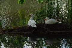 Dos patos blancos sientan en la vieja clave la charca rural rodeada por la hierba verde Ganso en fondo verde imagen de archivo libre de regalías