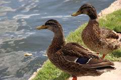 Dos patos cerca de un lago Foto de archivo libre de regalías