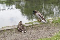 Dos patos cerca de una charca Foto de archivo libre de regalías