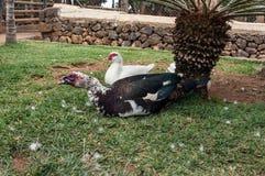Dos patos de almizcle se están sentando en el césped, cerca de la palmera Foto de archivo libre de regalías