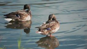 Dos patos del pato silvestre que se atusan sus plumas 3 almacen de video