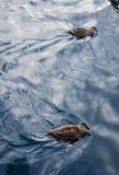 Dos patos en el agua Foto de archivo libre de regalías