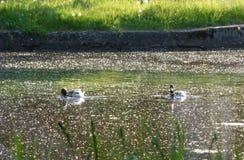 Dos patos en el canal fotografía de archivo