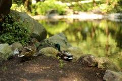 Dos patos en el lago Imágenes de archivo libres de regalías