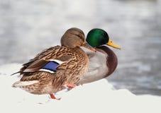Dos patos en la nieve Fotos de archivo libres de regalías