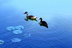 Dos patos en un lago azul Fotos de archivo