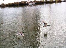 Dos patos están volando Imagen de archivo