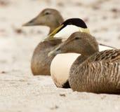 Dos patos femeninos y un masculinos en una playa Foto de archivo libre de regalías