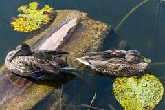 Dos patos flotantes Imagen de archivo libre de regalías