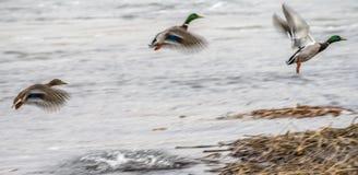 Dos patos machos y un pato sacar del río foto de archivo libre de regalías