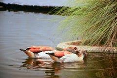 Dos patos marrones, Drake Mallard que flota en el agua imagen de archivo libre de regalías