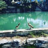 Dos patos por un río Foto de archivo