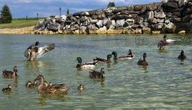 Dos patos que agitan sus alas en una charca Foto de archivo libre de regalías