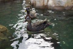 Dos patos que cuelgan hacia fuera Fotos de archivo