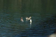 Dos patos que dan un paseo en la charca imagen de archivo libre de regalías