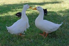 Dos patos que hablan el uno al otro en la hierba fotografía de archivo libre de regalías