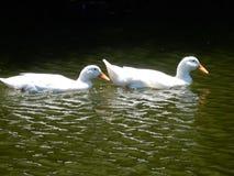 Dos patos que nadan Imagenes de archivo