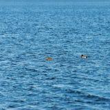 Dos patos que nadan en una charca cerca de una puesta del sol hermosa de la caída Fotos de archivo