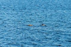 Dos patos que nadan en una charca cerca de una puesta del sol hermosa de la caída Foto de archivo