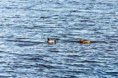 Dos patos que nadan en una charca cerca de una puesta del sol hermosa de la caída Imagen de archivo