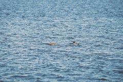 Dos patos que nadan en una charca cerca de una puesta del sol hermosa de la caída - vint Fotografía de archivo