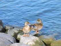 Dos patos salvajes Imágenes de archivo libres de regalías