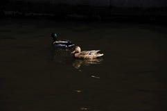 Dos patos salvajes Fotografía de archivo libre de regalías
