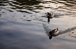 Dos patos salvajes que flotan en el lago foto de archivo