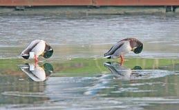 Dos patos silvestres en un lago congelado. Imagen de archivo libre de regalías