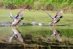 Dos patos silvestres que toman vuelo Foto de archivo