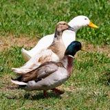 Dos patos y un ganso Fotografía de archivo