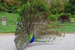 Dos pavos reales con las plumas hacia fuera Foto de archivo