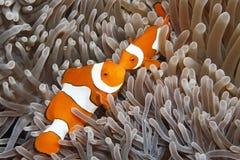 Dos payaso Anemonefish Fotos de archivo libres de regalías