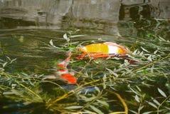 Dos peces de colores brillantes, carpa decorativa en agua verde entre sauce ramifican fotos de archivo libres de regalías