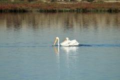 Dos pelícanos blancos americanos que nadan en el Bolsa Chica Wetlands en California Foto de archivo libre de regalías
