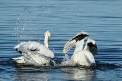Dos pelícanos blancos americanos que nadan y que salpican en el agua Imagenes de archivo