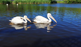 Dos pelícanos blancos en el parque zoológico de la ciudad, nadada a lo largo del lago Fotografía de archivo