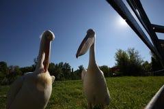 Dos pelícanos blancos en parque zoológico en hierba verde Imagenes de archivo