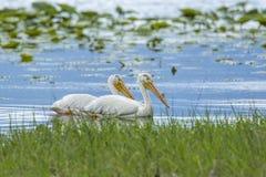 Dos pelícanos blancos que nadan Imagen de archivo libre de regalías