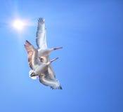 Dos pelícanos dálmatas Foto de archivo libre de regalías