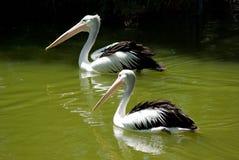 Dos pelícanos en el agua Fotografía de archivo